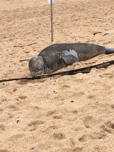 Endangered monk seal out of the water resting