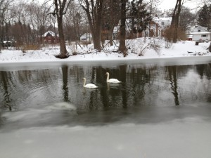 photo-copy-swans