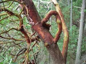 Madrone in Whidbey woods