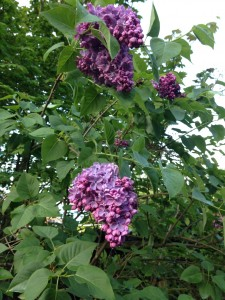 World's biggest lilacs