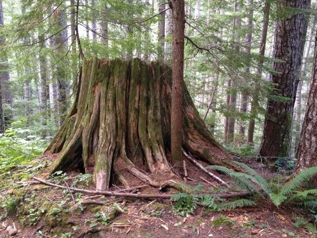 old cedar stump