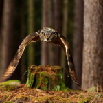 stock photo, forest owl