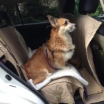 Gracie in the car