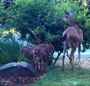 Dawn welcomes a doe and her twin fawns in my front yard