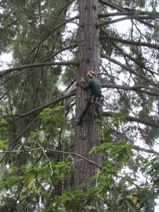 Arborist in our Doug fir