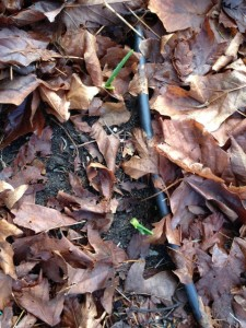 Green garlic sprigs protected by leaves