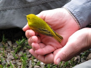 A yellow warbler held in the trustworthy hands of a quester